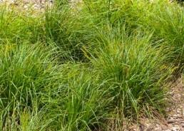 Carex vulpinoidea