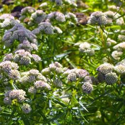 Pycnanthemum tenuifolium (flexuosum)