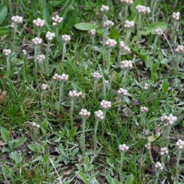 Antennaria neglecta