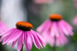 flowers for xeriscaping