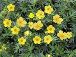 cinquefoil is a medicinal plant