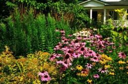 echinacea plant for medicinal purposes