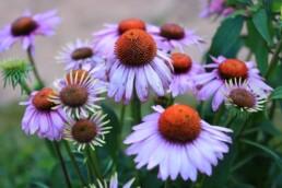 medicinal plants purple coneflower