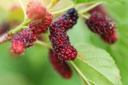red mulberry benefits and medicinal purposes