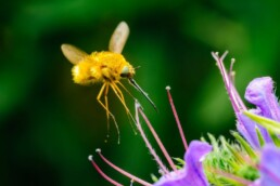 native pollinator plants