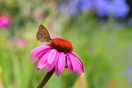 purple coneflower for pollinating