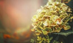 fall plants Hydrangea