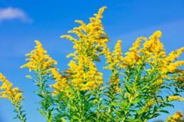 goldenrod fall plant