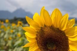 blooming sunflower in Kansas