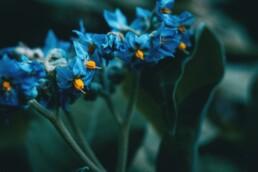 Blue Kansas Flower Solanum Giganteum
