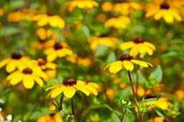 Yellow Black Eyed Susan in Kansas